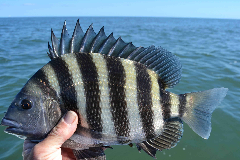 Sheepshead Fish