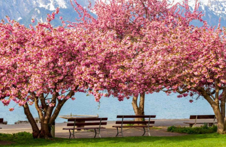 Cherry Blossom Tree for Sale