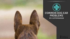 Common Dog Ear Problems  by a veterinarian