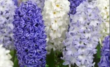 Top 10 Blumenzwiebeln