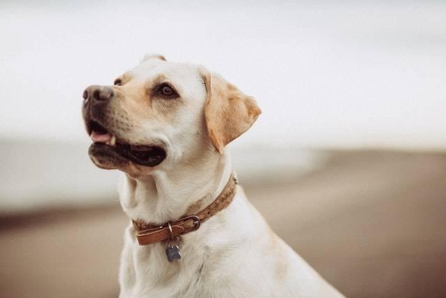 A Labrador Dog On The Beach