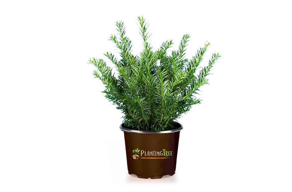 Trees And Shrubs Sizes Plantingtree Com