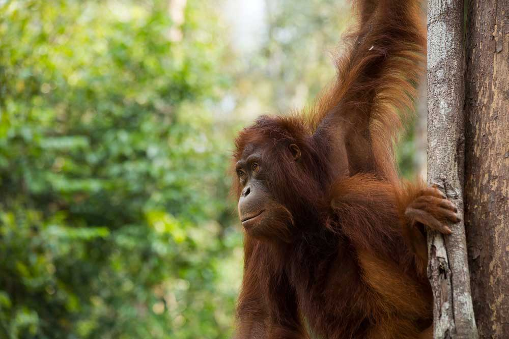 Travelbay Borneo Tours - Travel blog - Meet the jungle people, orang-utans