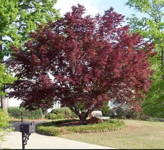 Bloodgood Japanese Maple for Sale