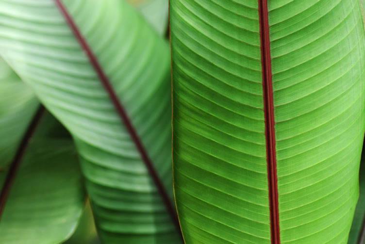 Musa (Banana plant)