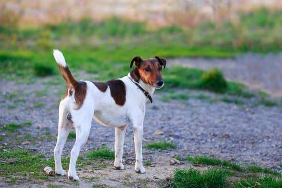 A smooth fox terrier stands on a dirt and gravel path with its tail pointed up