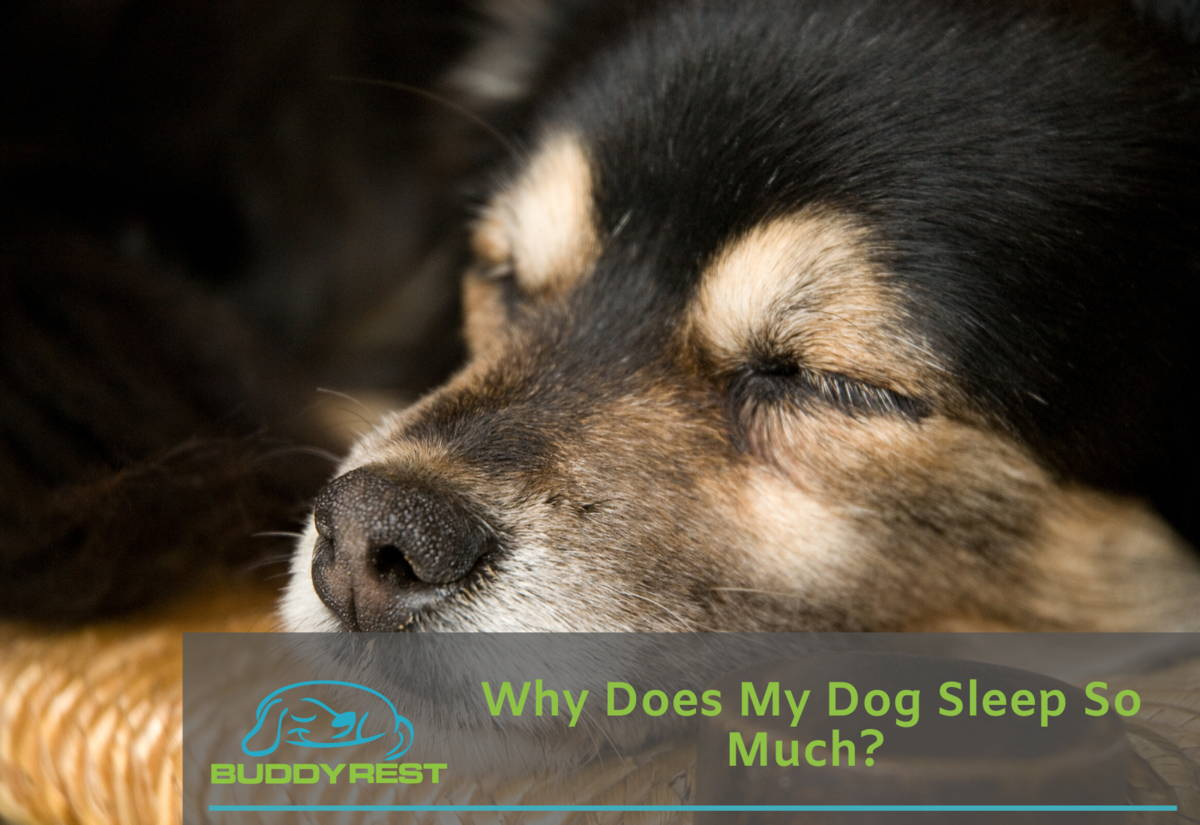 Why Does My Dog Sleep So Much?
