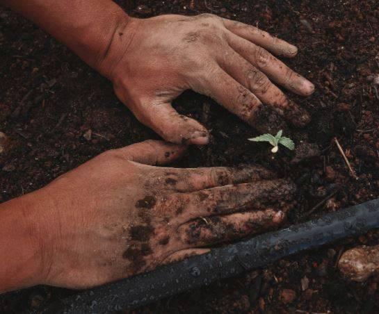 Planting a hemp plant for organic CBD at Thryv Organics
