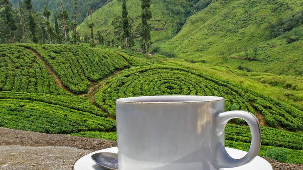 a white tea cup in the foreground of a tea farm