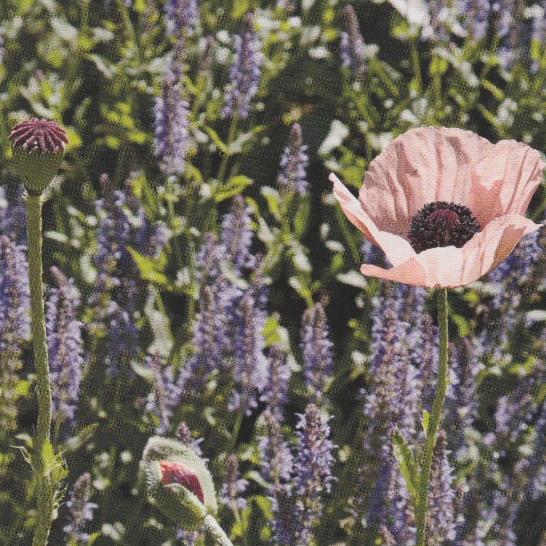 moraine flower