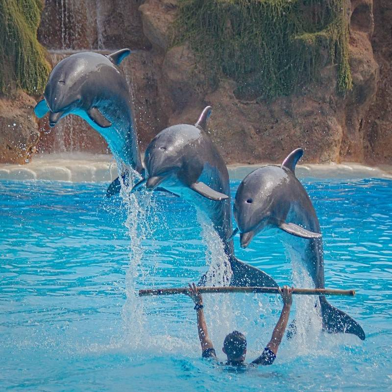 Captive dolphins performing an unnatural show
