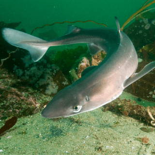 Spiny Dogfish