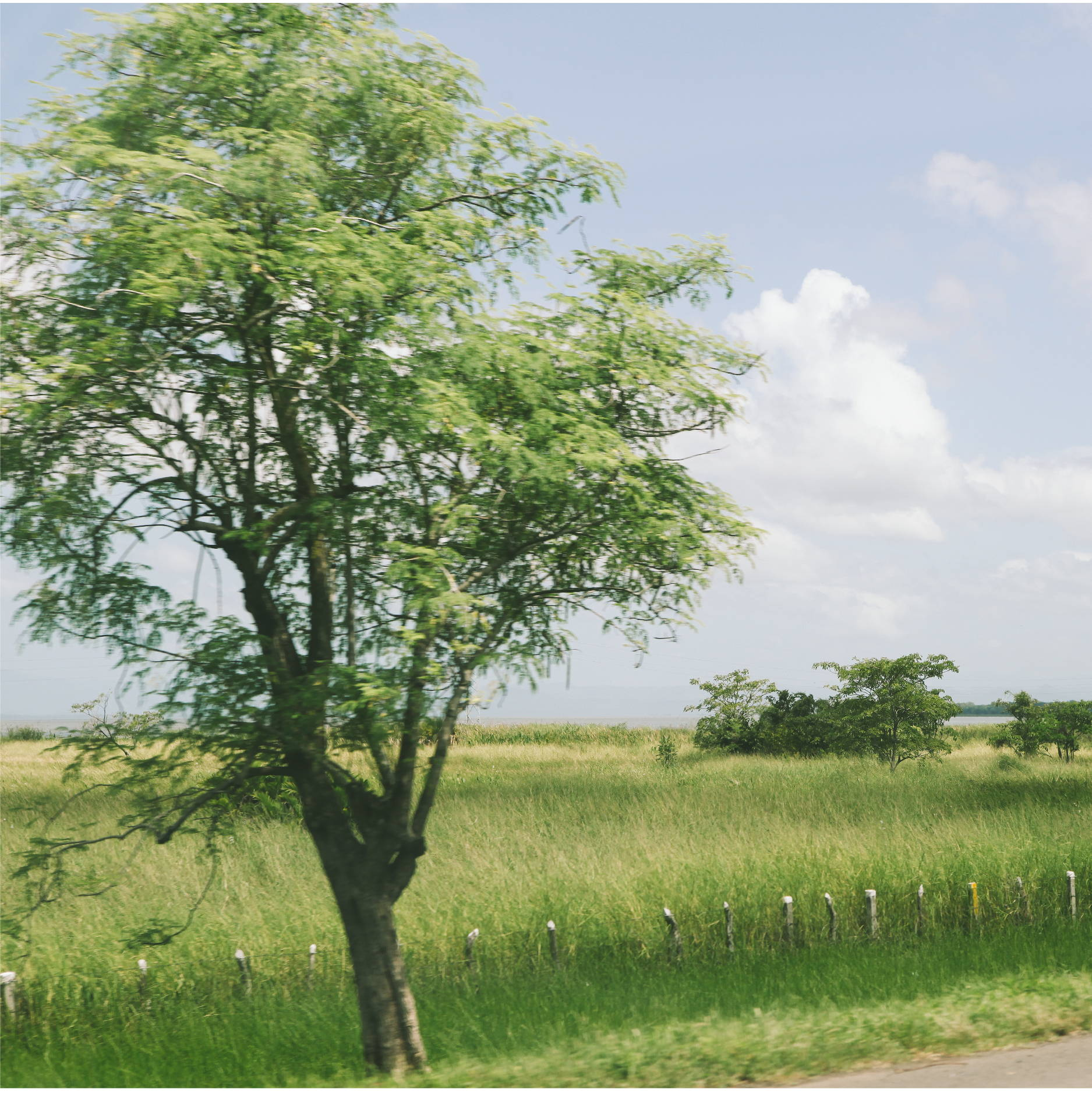 A large tree sits between a paved road and an overgrown rural nicaraguan field. I short barbed wired fence sits in the field
