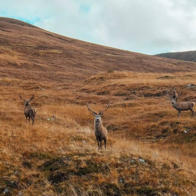 Four stag look on in the Scottish Highlands