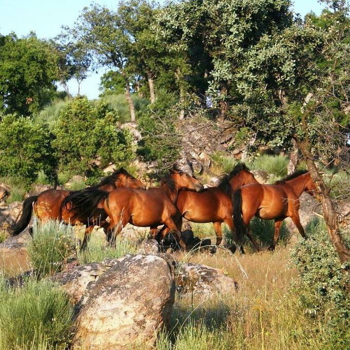 A team of horses walking through a native cork woodland in the Coa Valley, Portugal