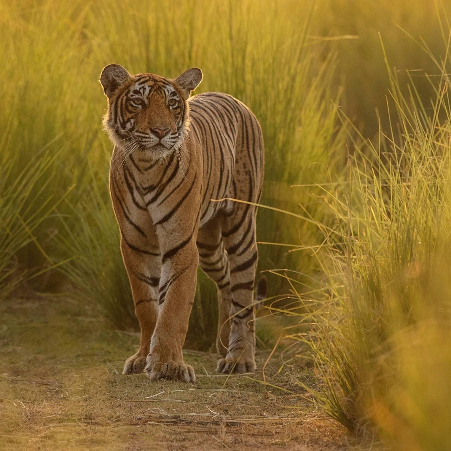 wildlife tiger grass