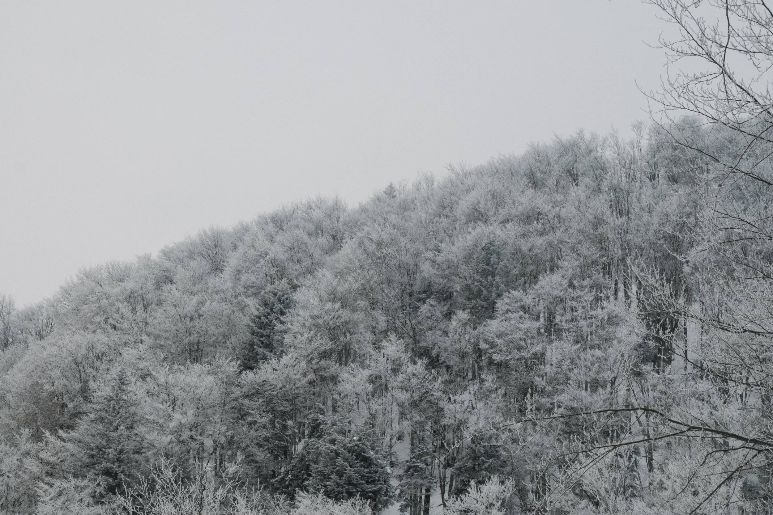 White trees covered in snow stand amongst the white clouds on a wintery day in the Carpathian Mountains