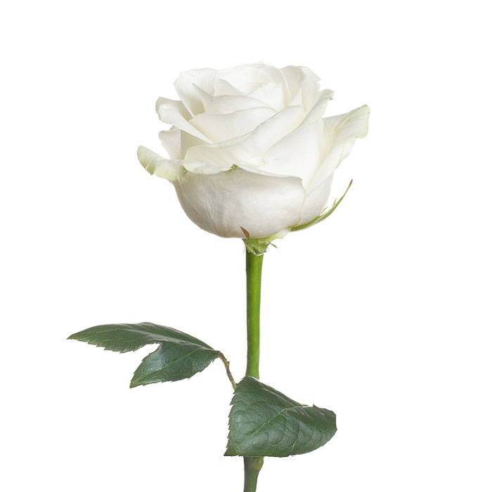 White Rose - Caulfield Cup