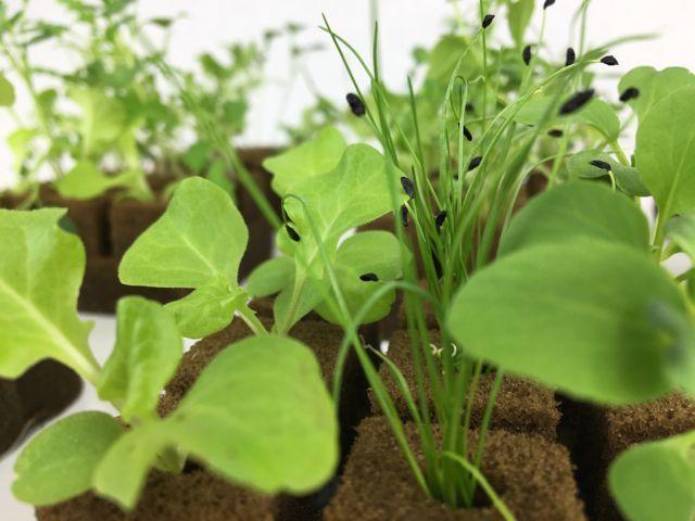 Seedlings on grow cubes