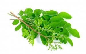 Frische Moringa-Blätter