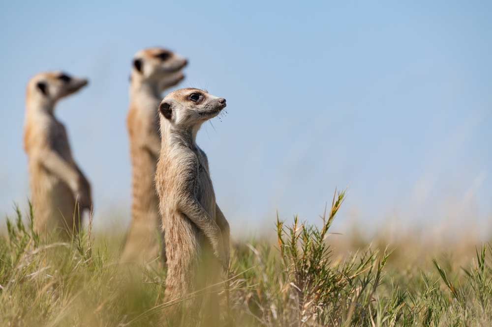 Travelbay Namibia Tours- Meerkats