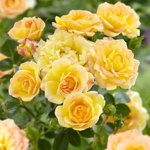 Rose da siepe