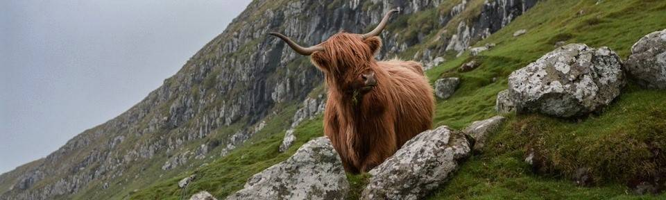 A Scottish Highland Moo stands on a rocky hillside