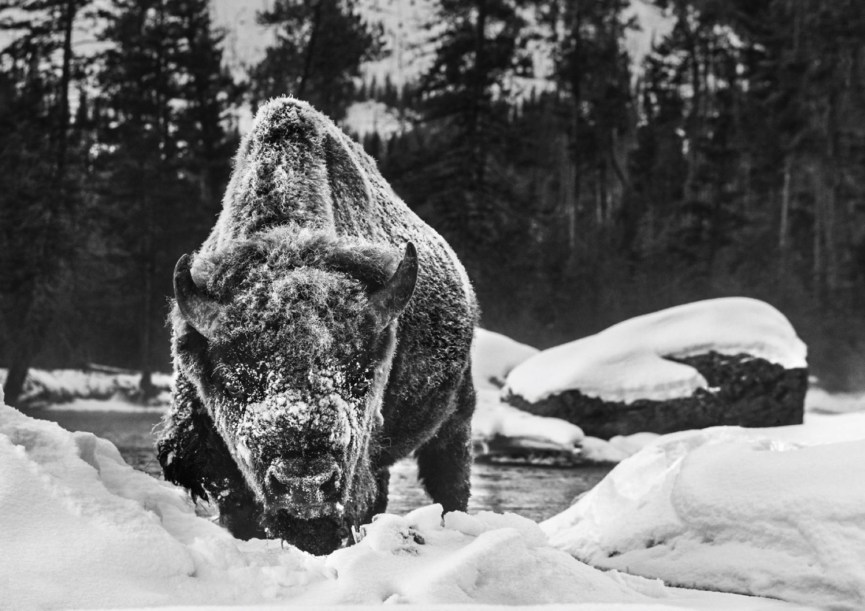 DAvid Yarrow Buffalo Soldier in Yellowstone national park. Sorrel Sky Gallery