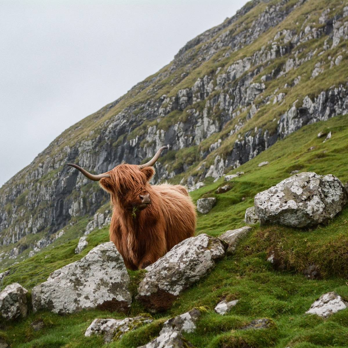 A Highland Cow standing on a rocky hillside in Scotland