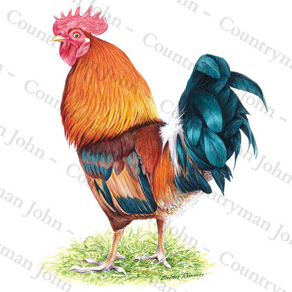 Countryman John Cockerel Artwork - 1102