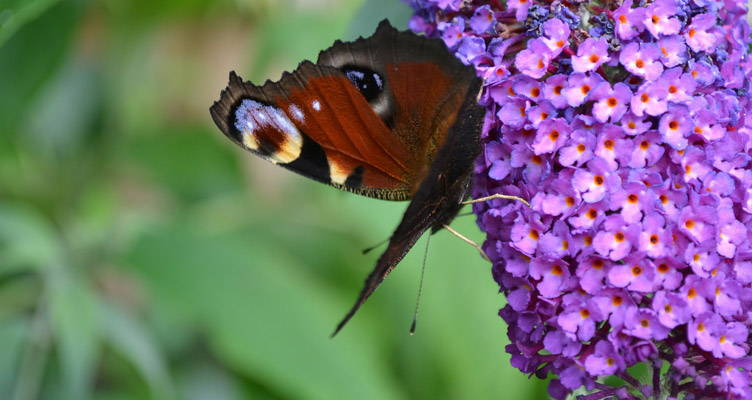 taille l'arbuste aux papillons
