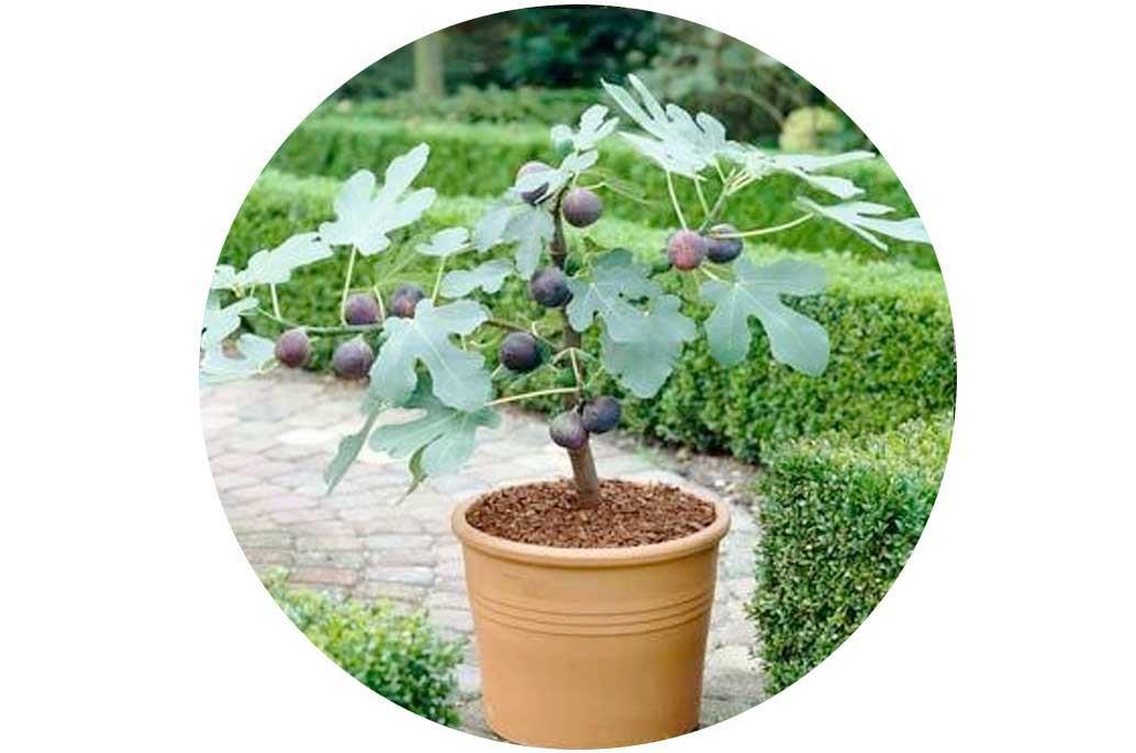 How to Grow Fig Trees in Pots