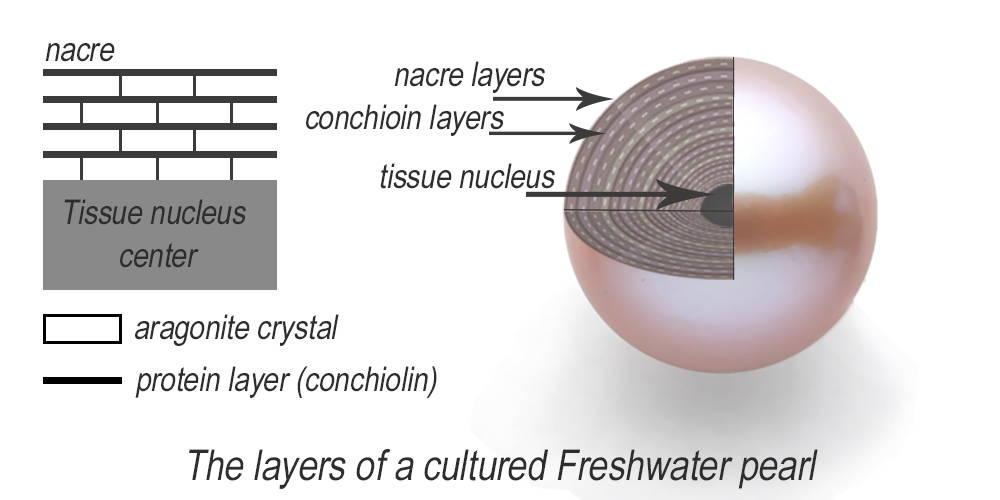 Cross Section Freshwater Pearl Nacre Layer Breakdown