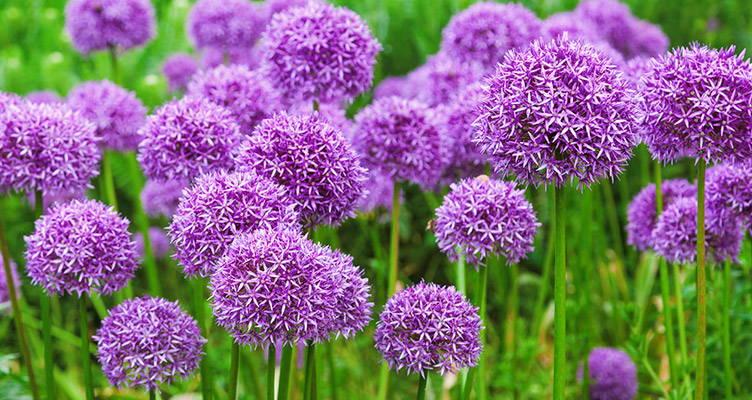 Planting Alliums