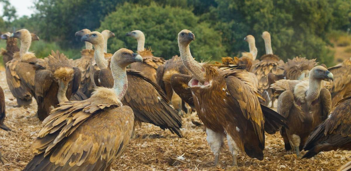A communitee of Griffon vultures gather in northern Portugal