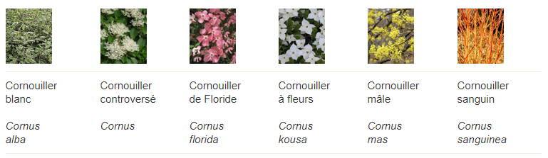 Les variétés de Cornouillers sont nombreuses