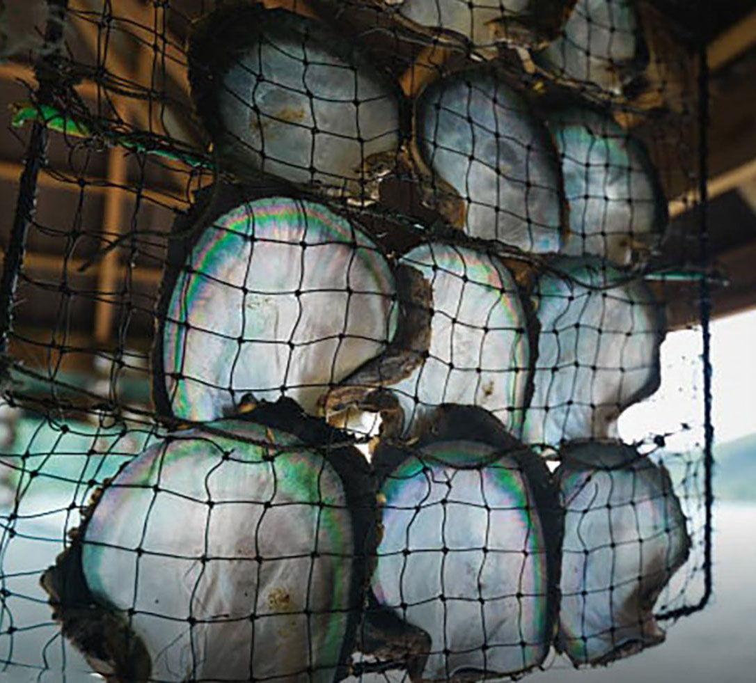 Tahitian Black Pearl Oysters