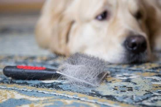 A golden retriever laying next to a dog hair brush with dog hair on it