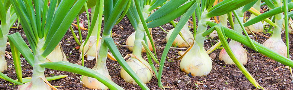 a field of onion bulbs with green stalks shooting from the ground