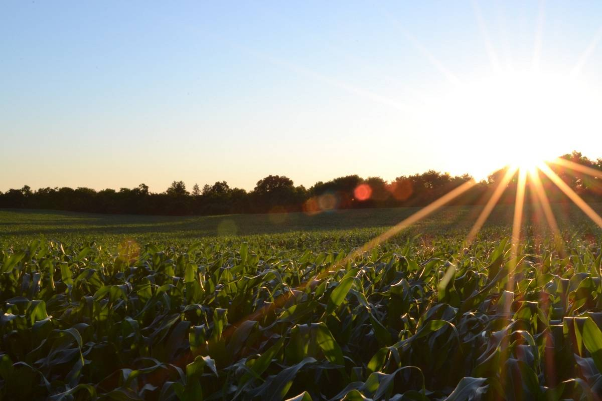 The sun setting over a field of maize