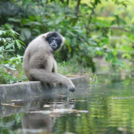Travelbay Brunei Tours - Gibbon
