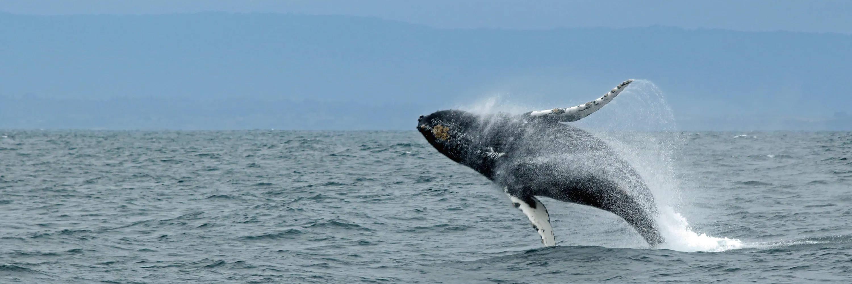 A whale breaching