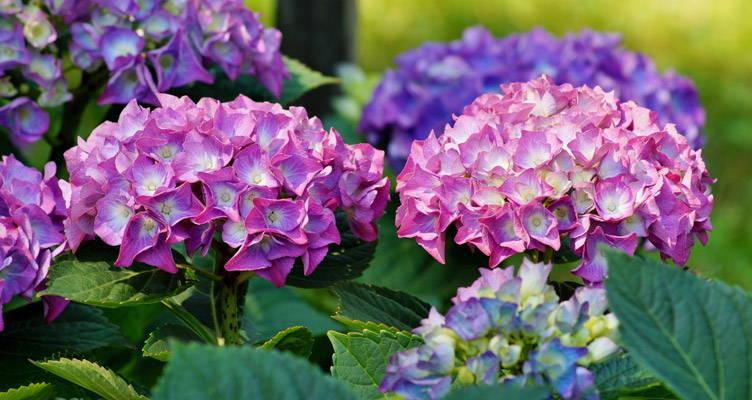 Pruning Common Hydrangea