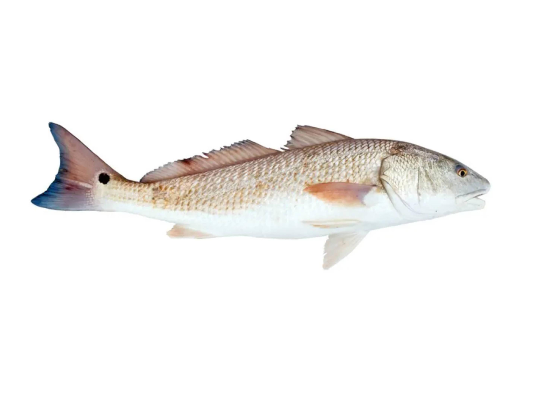 Redfish (Red Drum)