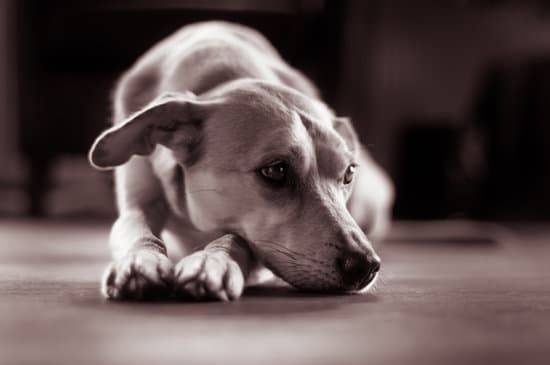 A tired dog lays on a floor with its head resting on its paws