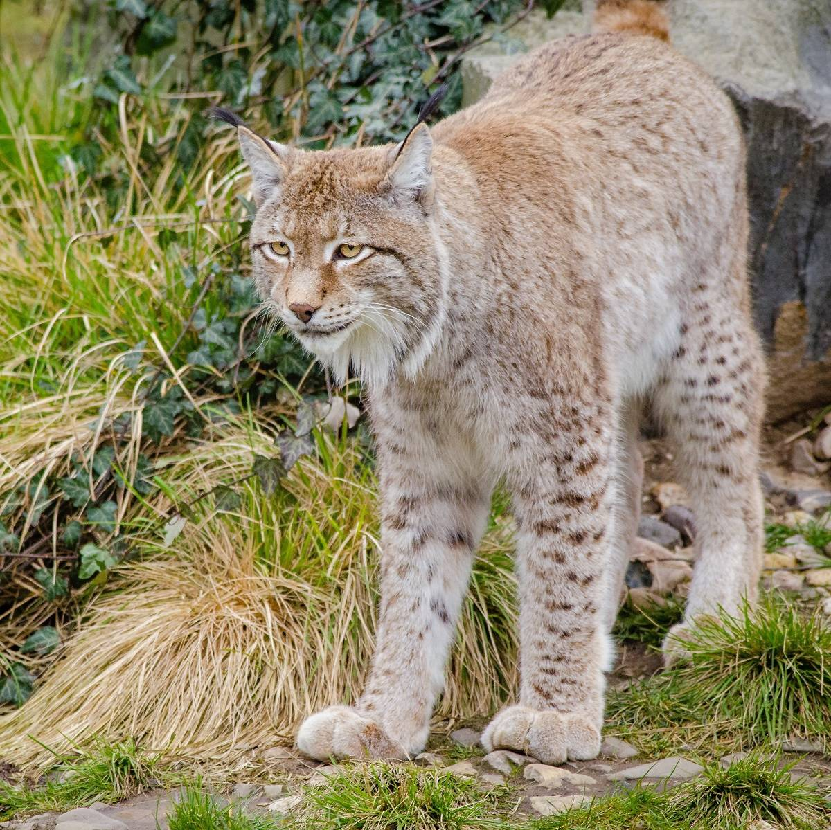 A lynx standing in front of a rock and long grass