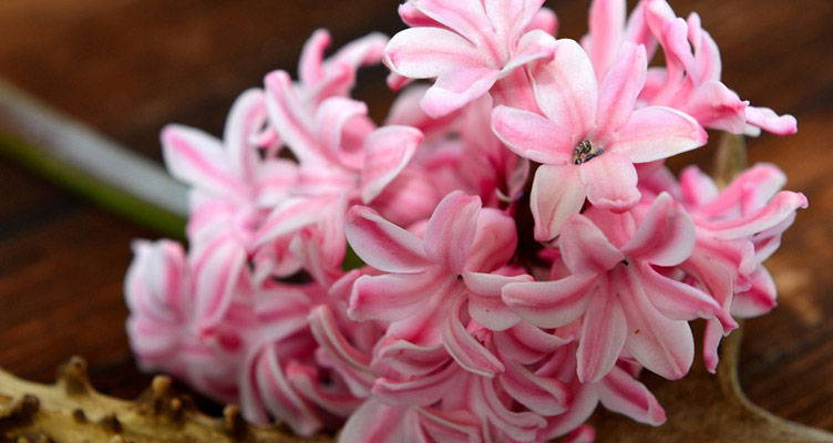Everything you need to know about hyacinth bulbs
