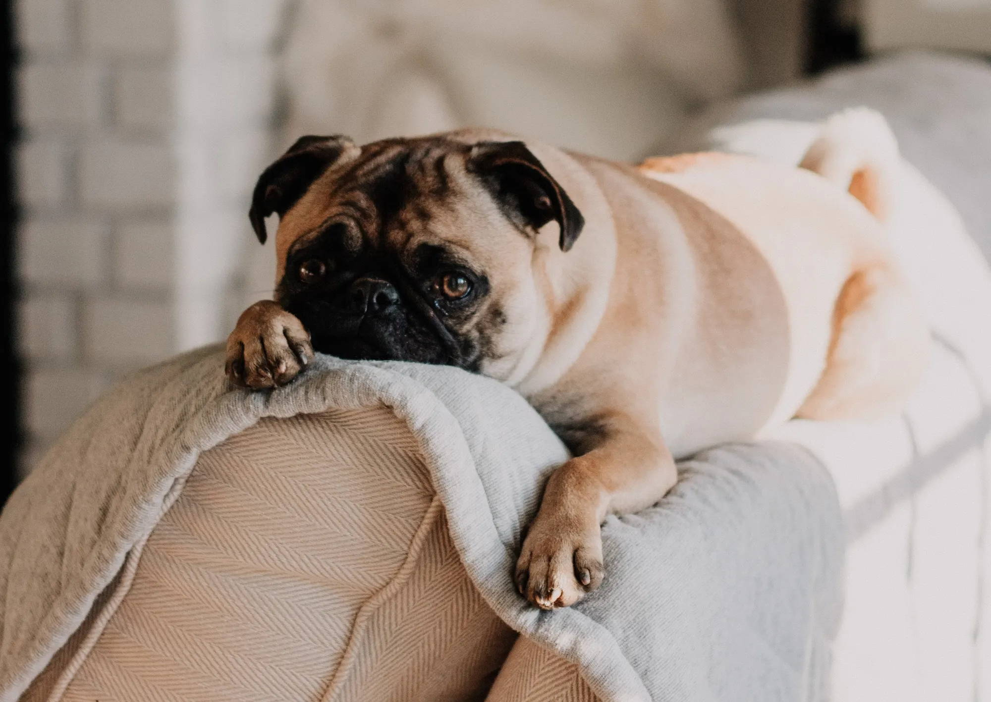 Pug Laying On A Couch