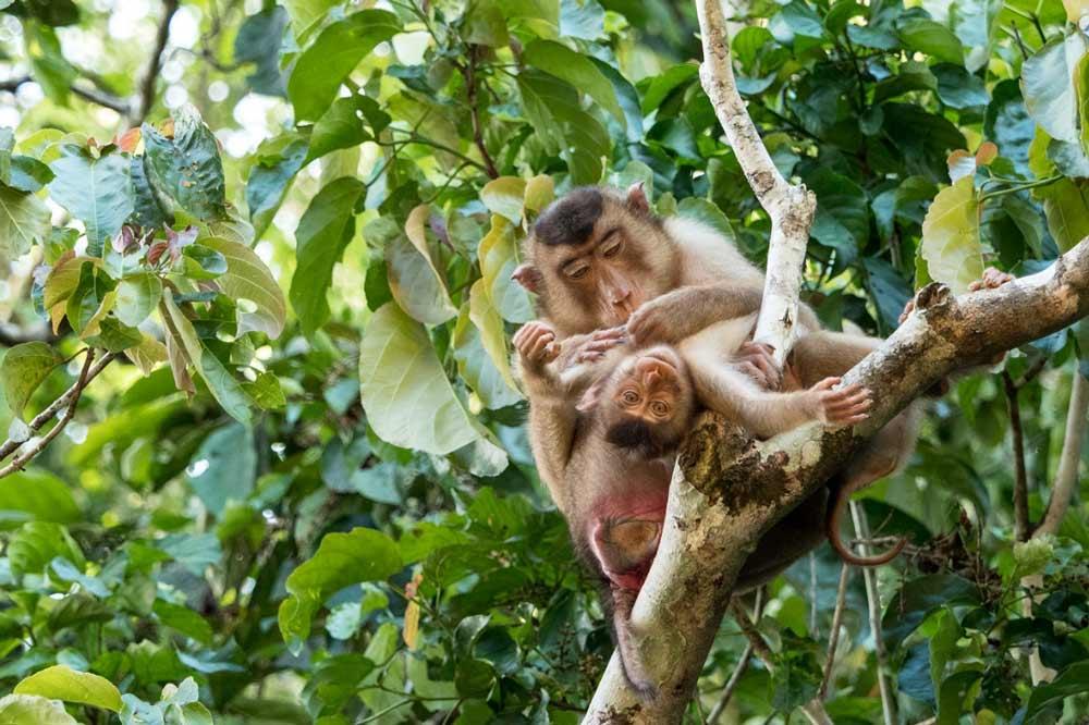 Travelbay Borneo Tours - Customer Reviews - Simon Collard - Kinabatangan River - Southern pig-tailed macaques