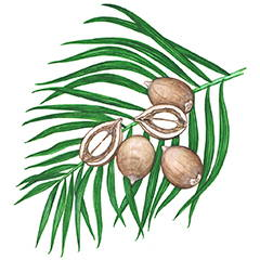 BABASSU OIL Rich in essential fatty acids and antioxidants that contain powerful skin soothing properties.